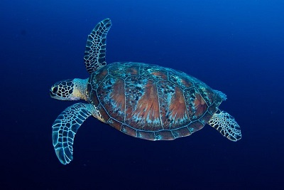 scuba diving in the Maldives with sea turtles